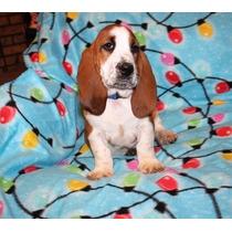 Basset Hound Cachorros Para Su Adopción