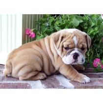 Adorables Cachorros De Bulldog Inglés Para Adopción.
