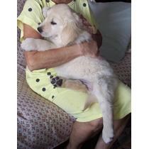 Los Cachorros De Golden Retriever De Color Crema