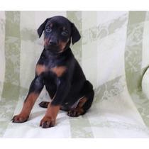 Cachorros De Doberman Para Adopción
