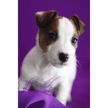 Jack Russell Cachorros En Adopción